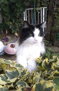 picture of a fluffy cat called Pippa