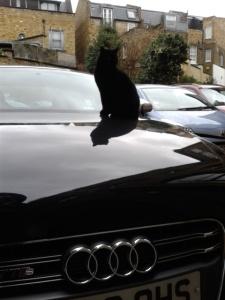 cat on Audi, focus on Audi logo